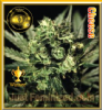 Greenhouse Cheese Female 5 Marijuana Seeds